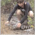 Maya Totman relocates a juvenile alligator